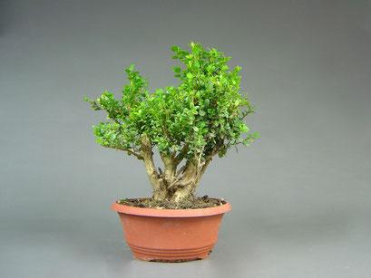 Buchsbaum, Buxus sempervirens, Bonsai Yamadori, Outdoor-, Freilandbonsai