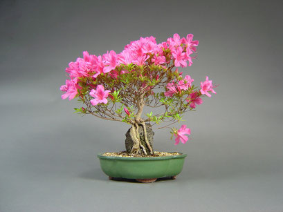 Satsuki - Azalee, Rhododendron indicum, Bonsai - Solitär, Outdoor - Bonsai, Freilandbonsai