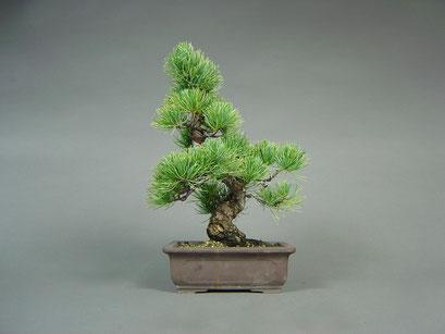 Mädchen - Kiefer, Pinus pentaphylla, Solitär, Japan, Outdoor - Bonsai, Freilandbonsai