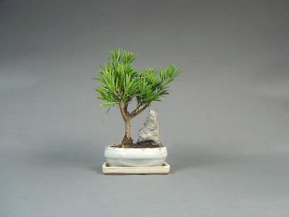 Steineibe, Podocarpus, Zimmerbonsai / Indoorbonsai