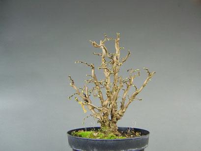 Korkenzieherhasel / Haselnuss, Corylus avellana, Bonsai Rohling