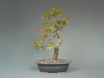 Stieleiche, Quercus robur, Bonsai Yamadori, Outdoor-, Freilandbonsai