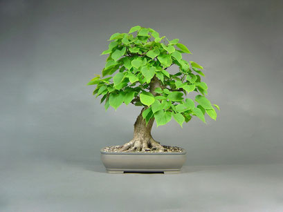Winterlinde, Tilia cordata, Solitär, Outdoor - Bonsai, Freilandbonsai