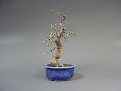 Quitte, Cydonia oblonga, Outdoor - Bonsai, Freilandbonsai, Rohling