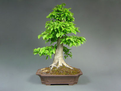Hainbuche, Carpinus betulus, Solitär, Outdoor - Bonsai, Freilandbonsai