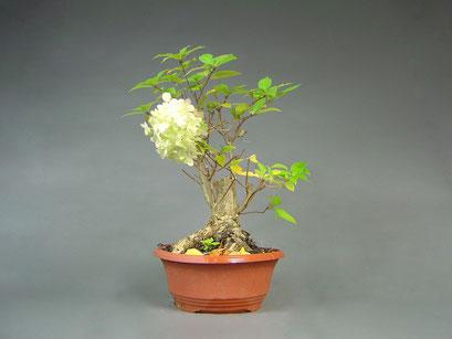 Hortensie, Hydangeaceae, Bonsai Yamadori, Outdoor-, Freilandbonsai
