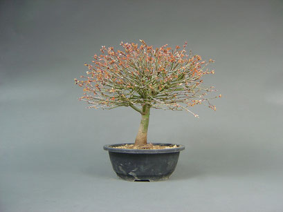 Fächerahorn, Acer palmatum ´kiyohime´, Japan, Outdoor - Bonsai Rohling