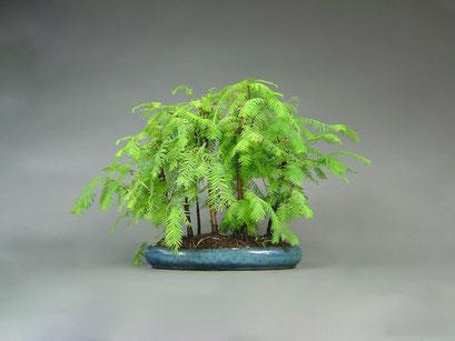 Urweltmammutbaum, Metasequoia glyptostroboides, Bonsai Wald aus 7 Pflanzen, Outdoor - Bonsai, Freilandbonsai