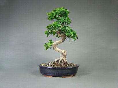 Ficus panda, Chinesischer Feigenbaum, Zimmerbonsai Gesamthöhe über 90 cm