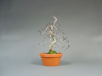 Weißdorn, Crataegus, Bonsai - Rohling aus Japan