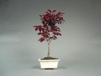 Blutpflaume, Prunus cerasifera ´Nigra´, Outdoor Bonsai, Freilandbonsai