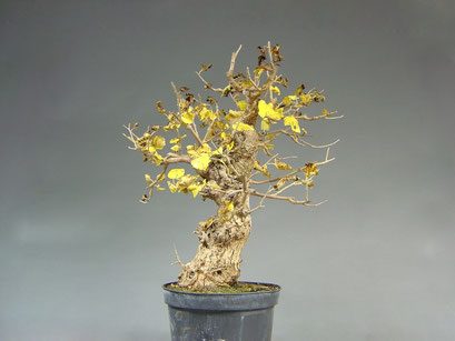 Maulbeerbaum, Morus, Bonsai - Rohling