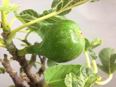 Fruchtansatz Eßfeige, Ficus carica, mediterraner Bonsai