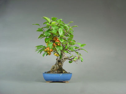 Zierapfel, Malus, Solitär, Outdoor - Bonsai, Freilandbonsai