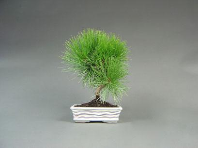 Japanische Schwarzkiefer, Pinus thunbergii, Outdoor - Bonsai, Freilandbonsai