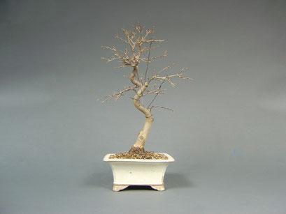 Dreispitzahorn, Acer buergerianum, Japan, Outdoor - Bonsai, Freilandbonsai, Solitär