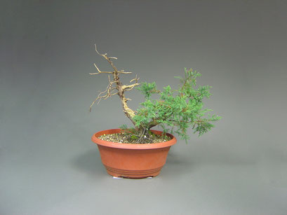 Wacholder, Juniperus, Bonsai Yamadori, Outdoor-, Freilandbonsai
