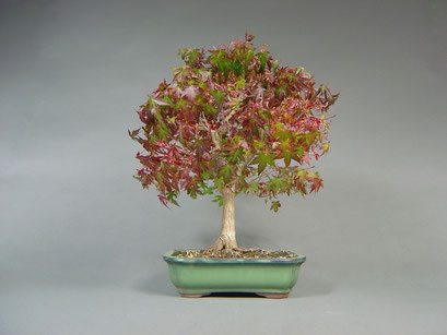 Fächerahorn, Acer palmatum, Solitär, Outdoor - Bonsai, Freilandbonsai