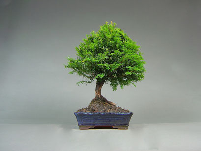 Eibe, Taxus baccata, Outdoor - Bonsai, Freilandbonsai