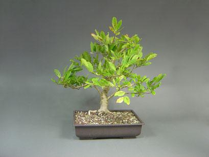 Stern-Magnolie, Magnolie stellata Rohling mit Blütenknospen