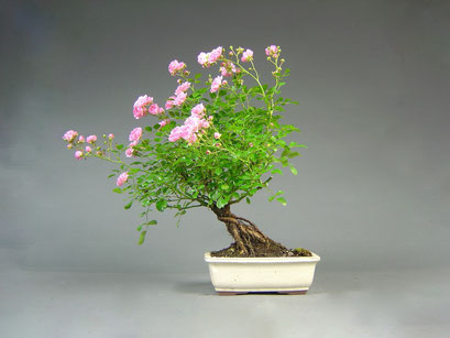 Rose, Rosa, Outdoor - Bonsai, Freilandbonsai
