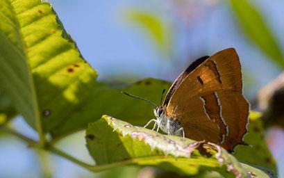 Wie viele Schmetterlinge aus den Parkanlagen verschwunden: Der Nierenfleck-Zipfelfalter