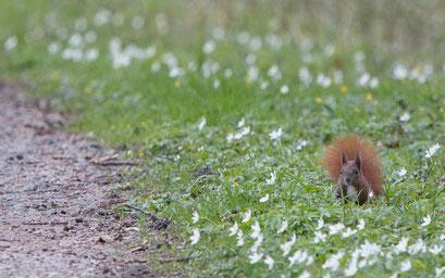 Eichhörnchen am Wegesrand