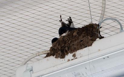 Ein Leben unter Strom: Mehlschwalben haben oft mit Vergrämungsmaßnahmen zu kämpfen