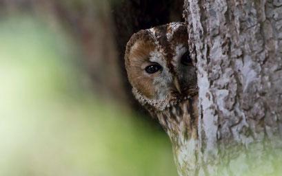 Typischer Bewohner älterer Parkbäume: Der Waldkauz