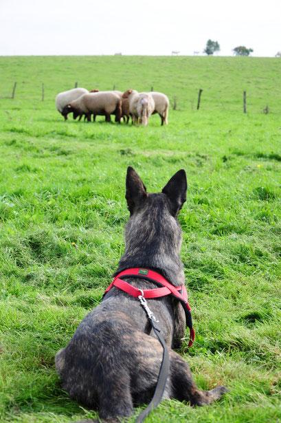 rustig kijken als de schapen eten.. (en de schapen moeten nog leren dat ze rustig door kunnen eten als Bobbie erbij is)