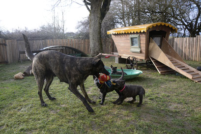mam Bobbie vind spelen met haar pups eindeloos leuk.. en  ongemerkt leerde zij haar pups hondse spelregels...