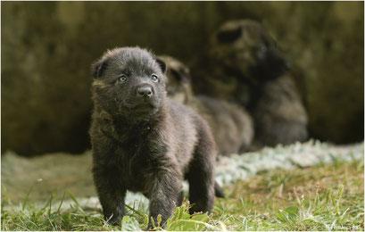 lichtblauw... wij vinden hem een schattig klein ding.. hijzelf heeft daar geen weet van... hij is een stoere herdershond...