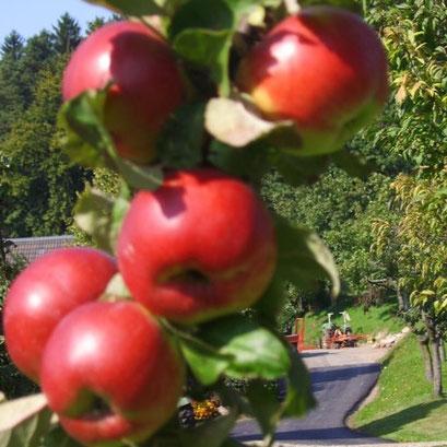Äpfel  mit Biss