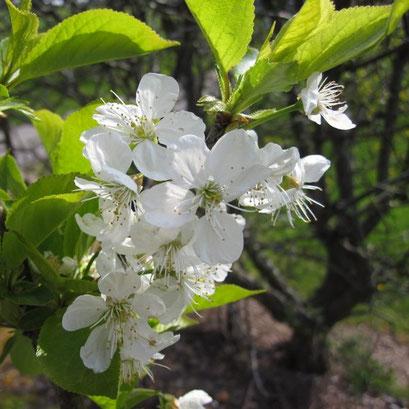 Apfelblüte für leckeren Apfelsaft