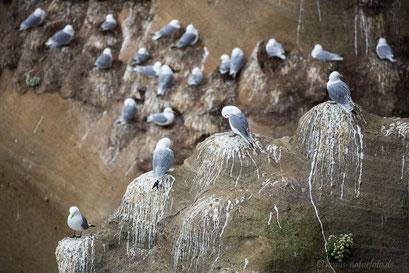 Kolonie der Dreizehenmöwe   Vogelfelsen am Pufubjarg