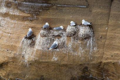 Kolonie der Dreizehenmöwe