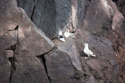 streitende Eissturmvögel