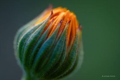 "Hieracium aurantiacum   ""Habichtskraut """