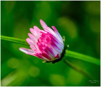 Clover flower          Kleeblüte