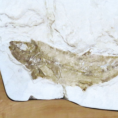 Fossil Fisch