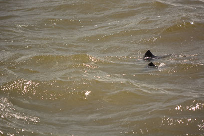 Schweinswale in der Norderelbe in Höhe Holzhafen West am 16.04.2016