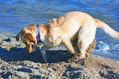 Fleißiger Hund am Elbstrand Övelgönne