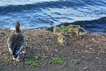 Wildgansfamilie an der Außenalster