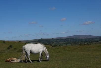 Dartmoor Nationalpark mit seinen frei lebenden Pferden