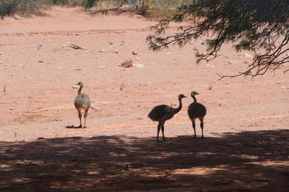 eine Gruppe Nandus, die kleine Ausgabe des Vogel Strauss leben im Canion