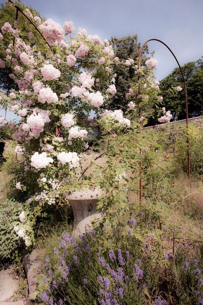 Dans la roseraie, Jardin de l'Île verte, Châtenay Malabry, (92 Hauts-de-Seine)