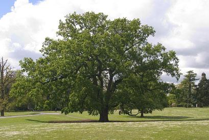 Parc de Procé, le grand chêne, LOIRE-ATLANTIQUE (44) © Annick Maroussy