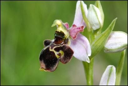 Ophrys scolopax Bugarach (11) Le : 19-05-2009