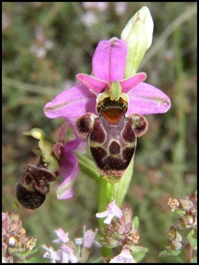 Ophrys scolopax le Pompidou (48) Le : 04-06-2005