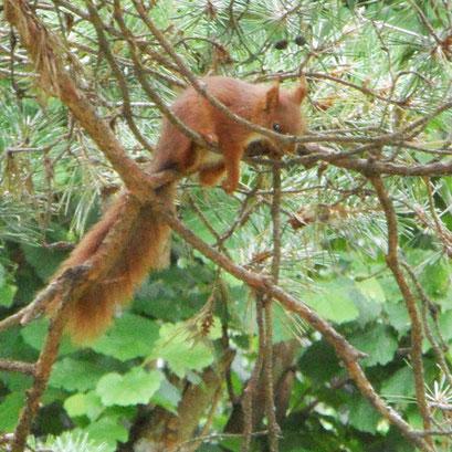 L'écureuil dans les arbres du jardin
